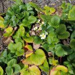 garden-life-ste-do-cli-1-strawberry-plant