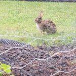 garden-life-ste-do-cli-21-rabbit