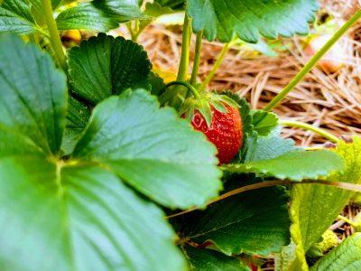peek-a-boo-strawberry-stedocli