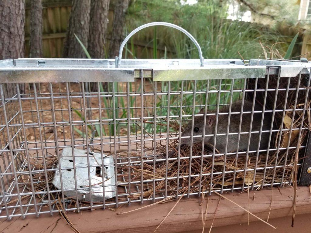 captured-rat