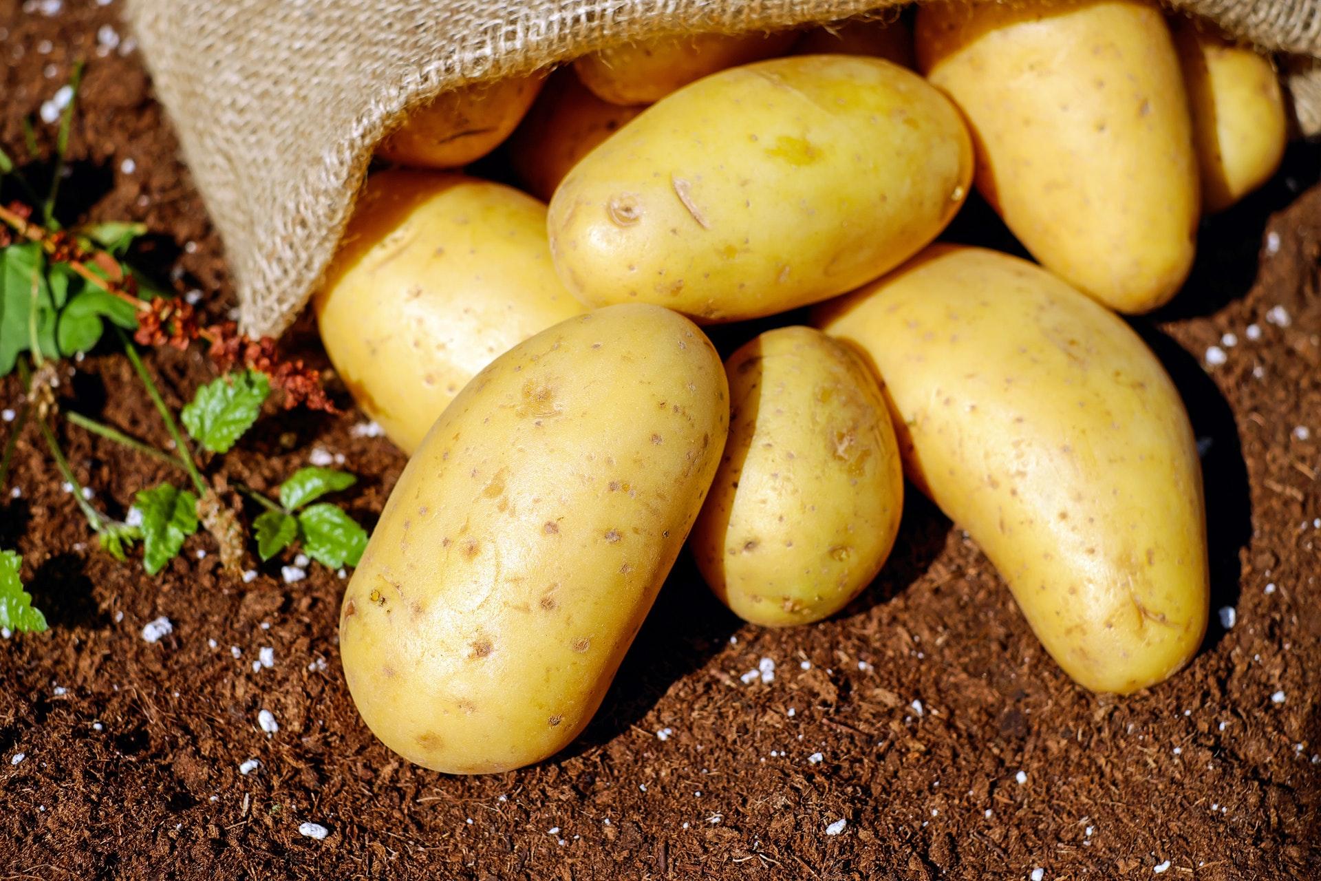 growing-potatoes-ste-do-cli