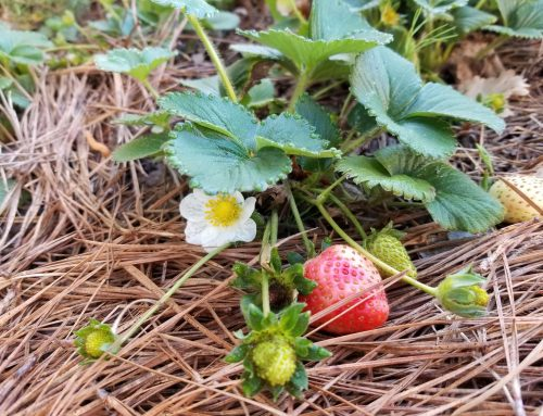 Garden Life: The First Strawberry Of The Season