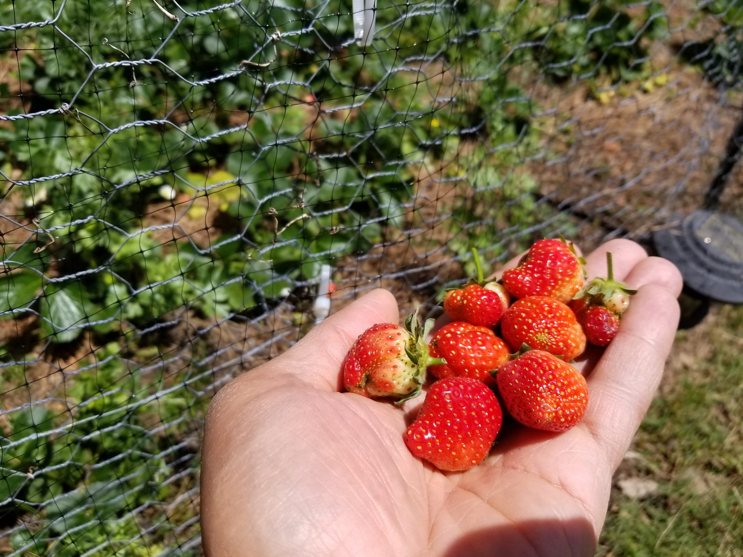 hand-full-of-strawberries