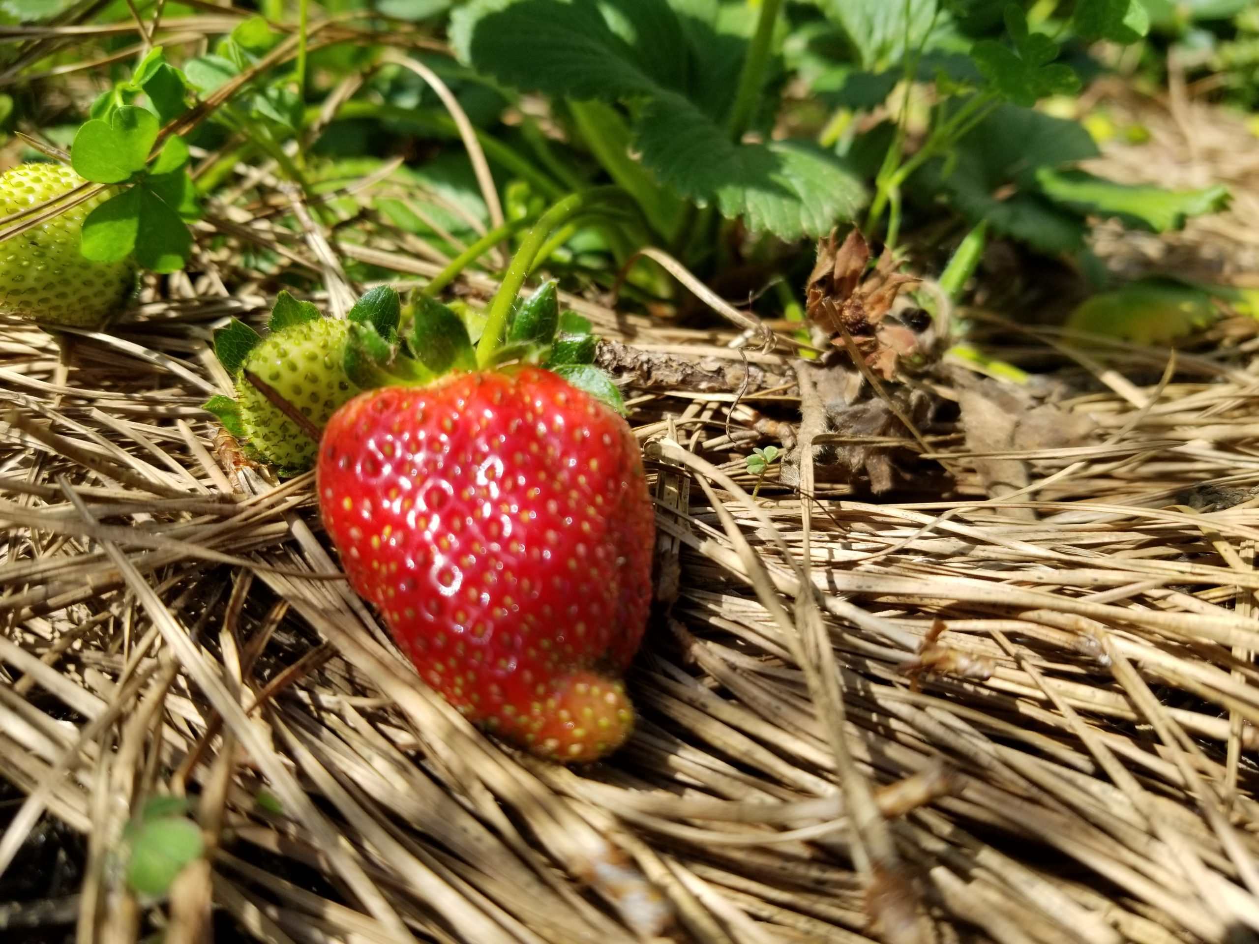 this-strawberry-is-about-ready