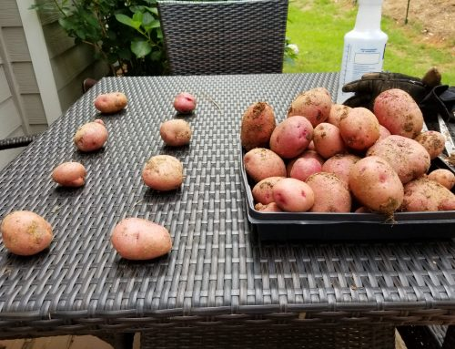 Harvested The Red Norland Potatoes