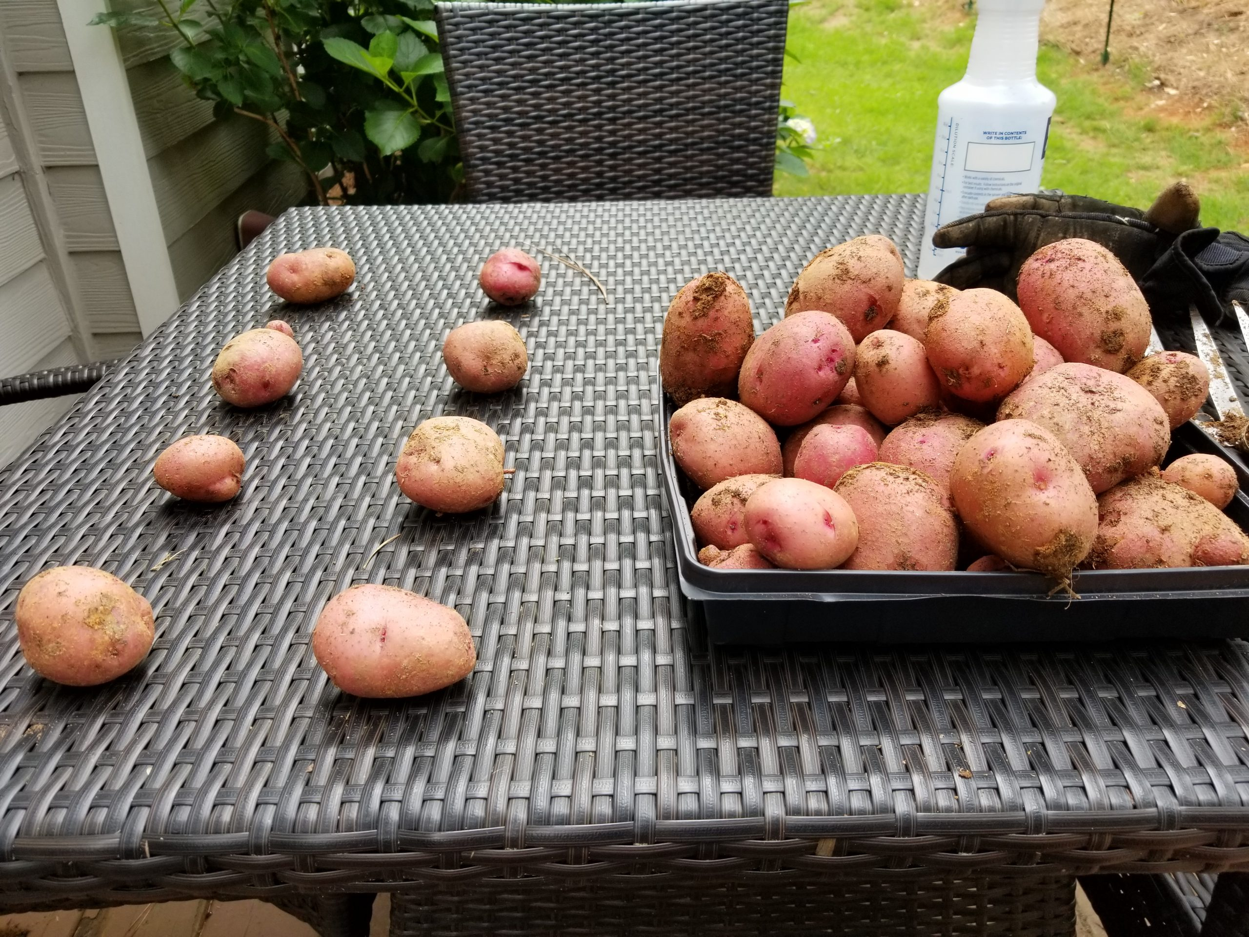 harvested-the-red-norland-potatoes-ste-do-cli